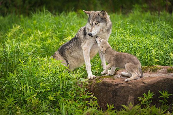ppk_junior02_wolf