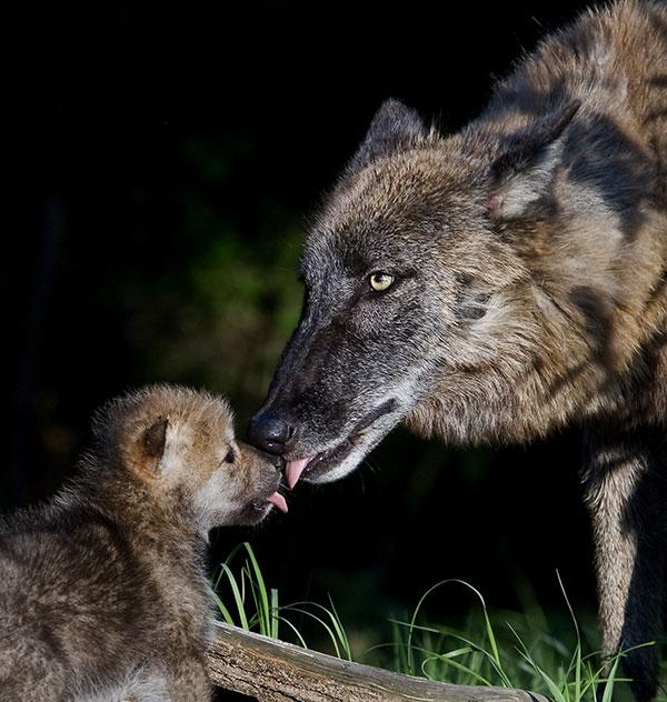 ppk_newborn_wolf