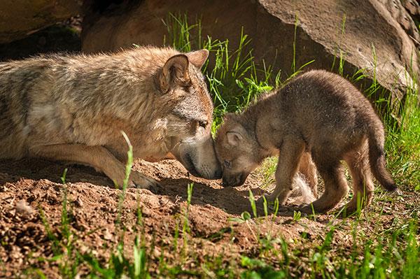 ppk_puppy_wolf